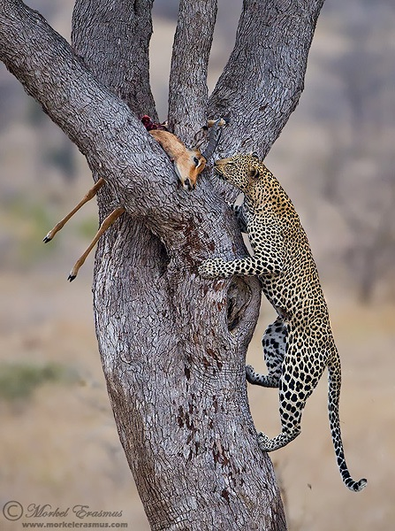 a leopard ascends a tree to find its kill