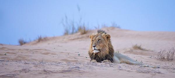 Lion_Dune.jpg
