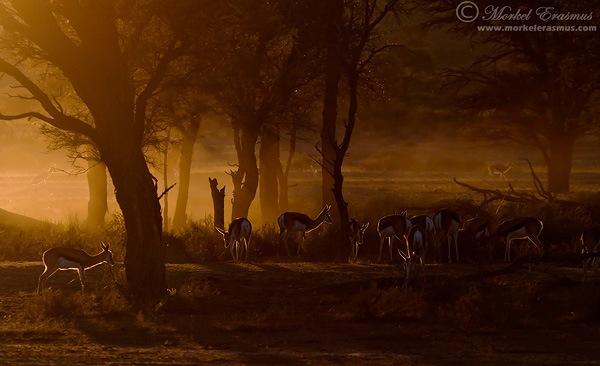 Springbok_Dawn.jpg