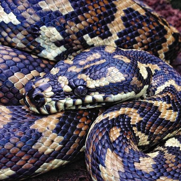 Image: Carpet Python