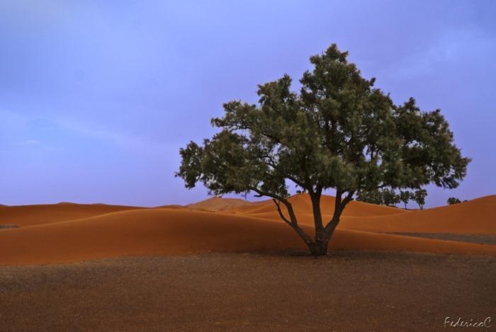 Merzouga -desert tree