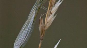 Common Blue Damselfly (Enallagma cyathigerum)