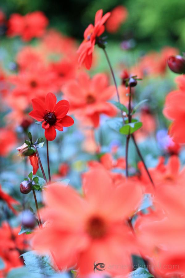 Red Flowers Original