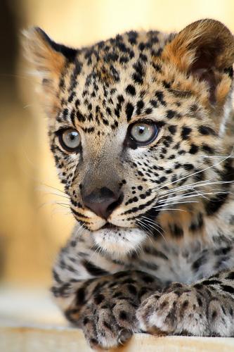Snow Leopard Kitten by Anne McKinnell.
