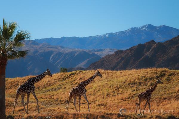 Giraffes by Anne McKinnell