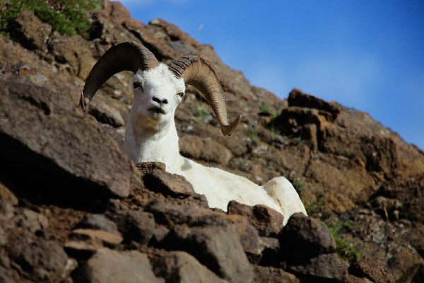 This Dall Sheep was lounging just above Polychrome Pass. Using a 70-200 with a 2x extender, I was able to get in close and get a nice portrait. 5D Mark II, EF 70-200 f/2.8L IS II w/2x extender. 1/1000 at f/4, ISO 200.