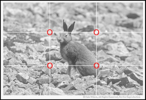 Canada's easternmost province of Newfoundland has the southernmost population of arctic hare in the world.  This fellow was located atop Gros Morne Mountain, and the photo was captured with little regard for composition. With uncontrolled animals (non-zoo setting) just get the shot first,and then concentrate on refining the image with the next frame. With gained experience you will soon find yourself intuitively placing the subject at the correct 'Point of Impact' as indicated here with red circles.