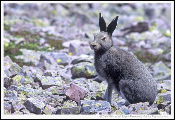 """Once this hare heard the mirror-slap on my medium format camera (Pentax 67) he was gone faster than a … well, shot at rabbit. Fortunately, due to the large film size I am able to crop the image and place the 'Point of Interest' (the hare) in the most pleasing 'Point of Impact' within the frame. When we are working with """"living critters, including people"""" we will usually want to focus on the eyes and frame the animal in such a fashion to leave room for them to """"look into the frame."""""""