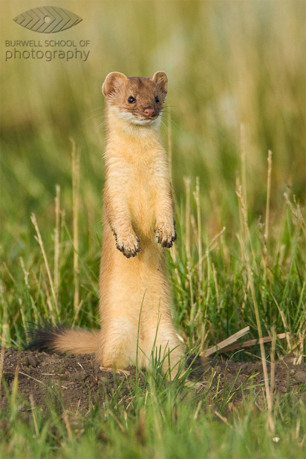 Long-tailed Weasel pauses outside of ground squirrel burrow: Canon EOS Digital Rebel,  Canon 500mm F4L IS, 1.4x Extender II @ 700mm, 1/500th of a second at F7.1, ISO 200 - Hand held