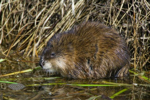 Muskrat pauses while eating: Canon 1Ds Mark II, Canon 500mm F4L IS lens, 1.4x Extender II and 2.0x Extender II @1400mm, 1/500th of a second at F10, ISO 640, Saddle-shaped bean bag from vehicle window