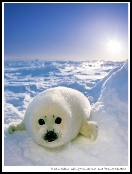 There will be occassions when you simply have to get the image and then attempt to refine it later. This is usually the case with animals. This harp seal pup is not the most active critter on the planet, but the mother most certainly can deliver one fast and nasty bite.
