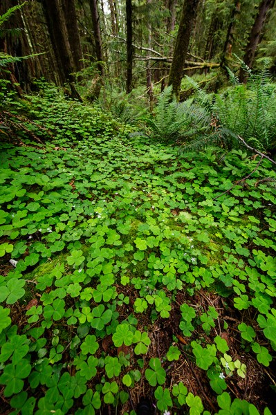 The temperate rain forest features a plethora of flora. This is wood sorrel blanketing the forest floor. EOS 5D Mark III, EF 14mm f/2.8L II. 1/25, f/8, ISO 400.