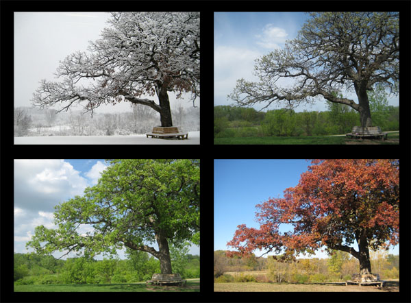 McEnaney oak seasons