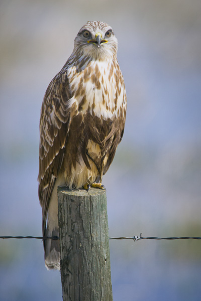 © Paul Burwell Photography - Rough-legged Hawk looking directly at the viewer
