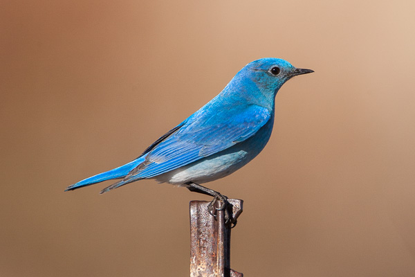 Mountain Bluebird looking away from the viewer