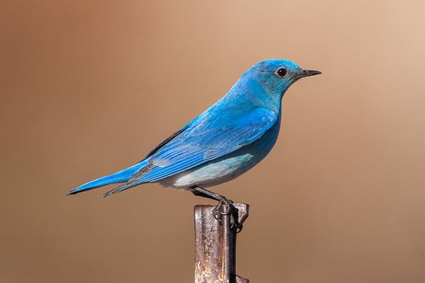 Mountain Bluebird looking away from the viewer