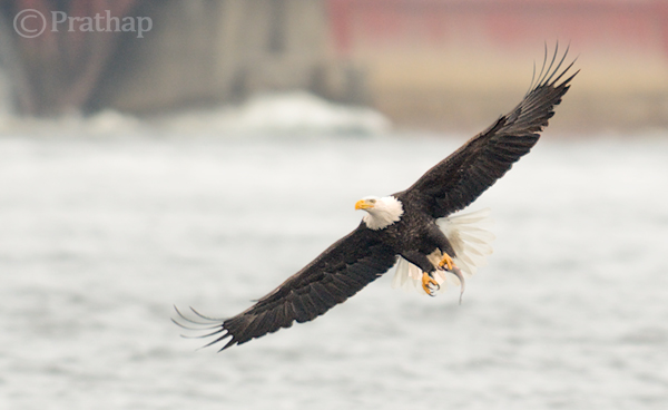 Bald Eagle Flying Away With A Catch