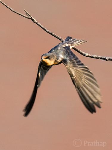 Barn Swallow Taking Off