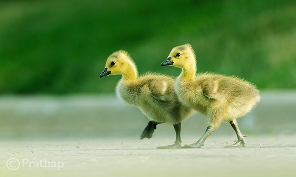 Goslings Crossing the Road