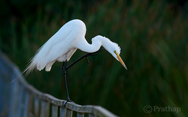 Juvenile Great Egret Behavior