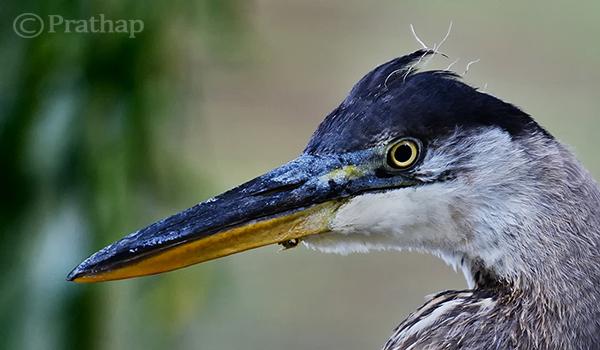 Juvenile Blue Heron Close Up