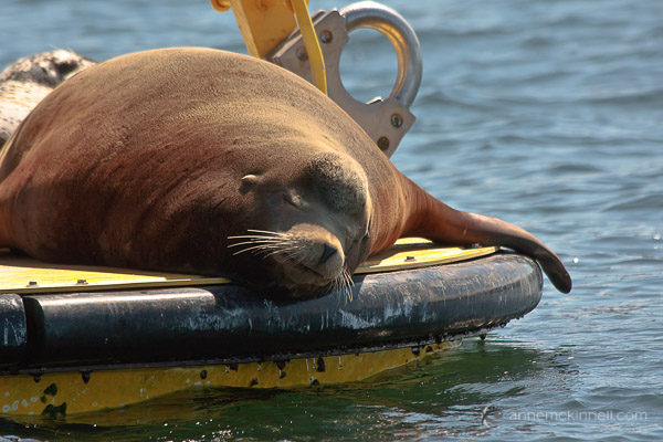 Sleeping Steller Sea Lion by Anne McKinnell