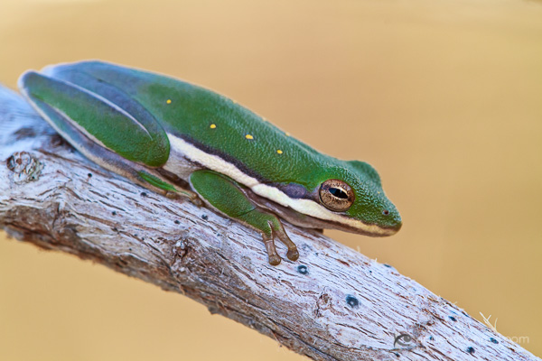 American Green Tree Frog by Anne McKinnell