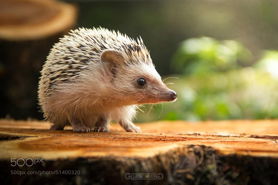 Photograph HedgeHog by Bryan Yong on 500px