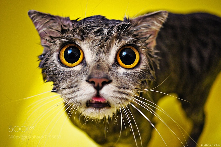 Photograph wet cat  :) by Alina Esther on 500px