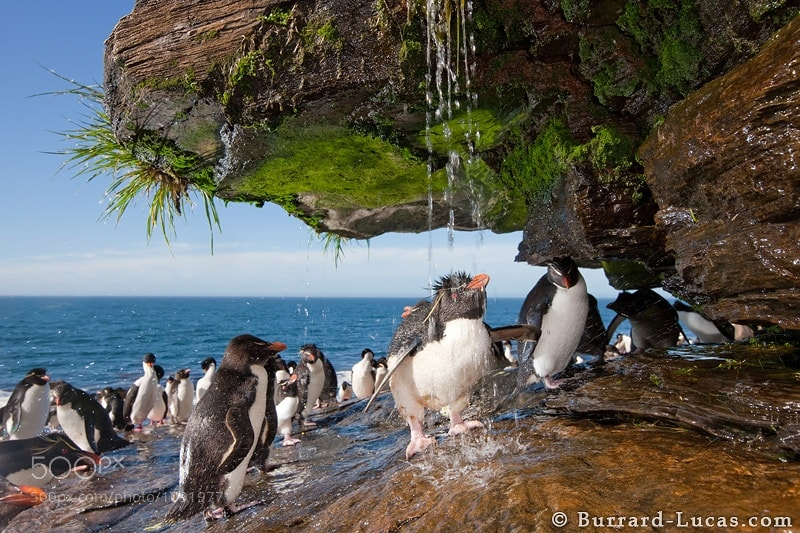 Photograph Rockhopper Showering by Will Burrard-Lucas on 500px