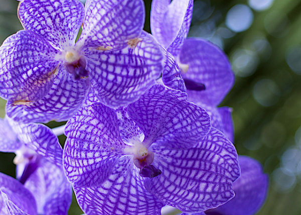 purple orchid close-up