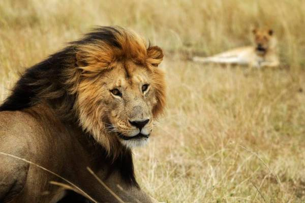 Photography-backgrounds-lion-africa-Piper-Mackay-02