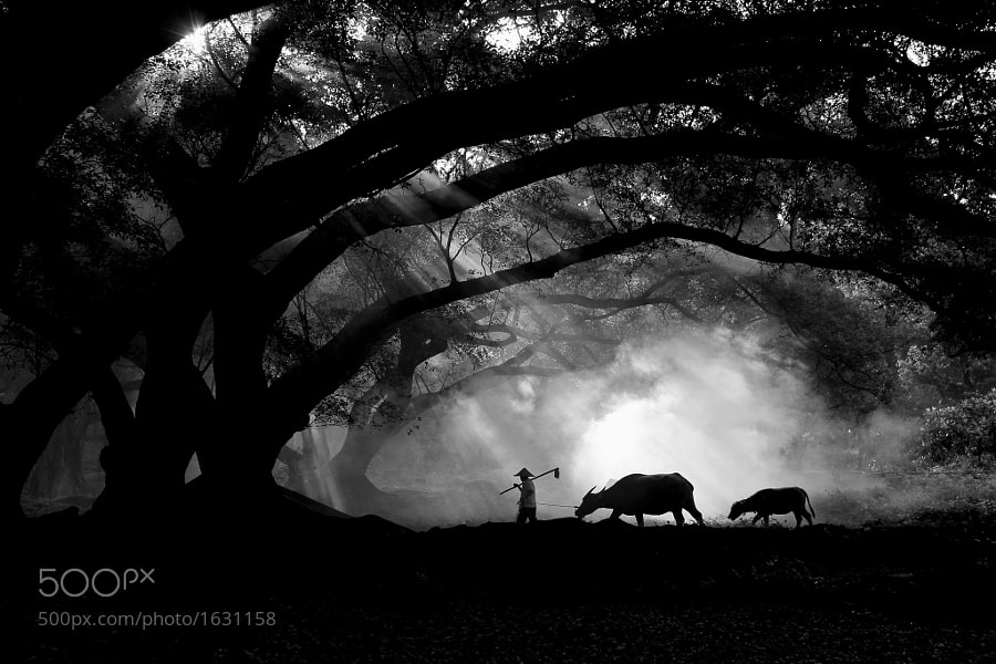 Photograph Farmer with his buffalos by Jinny Tan on 500px