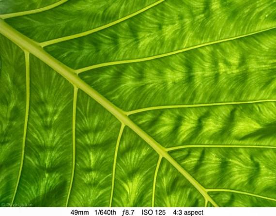 DJulian Molokai Leaf Detail