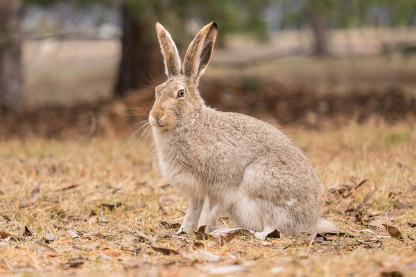 Snowshoe Hare - XF55-200mm F3.5-4.8 R LM OIS Lens 1/200 at f 4.8, ISO 400, 200mm