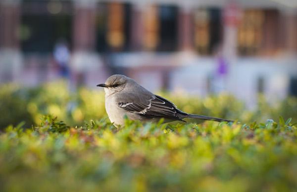 image-001-mockingbird