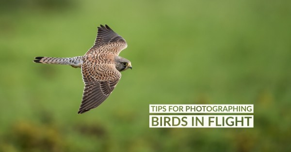Tips for Photographing Birds in Flight