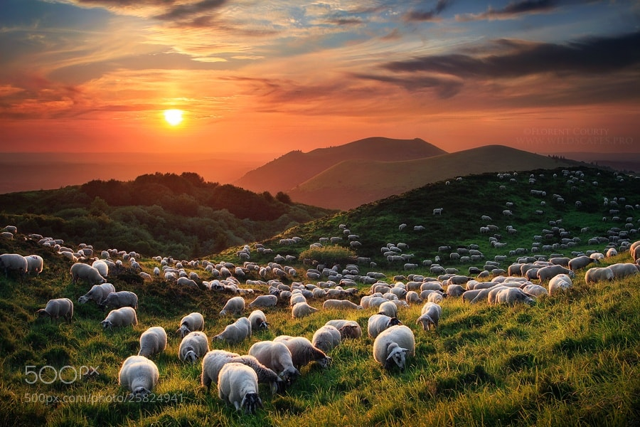 Photograph Sheep and Volcanoes by Florent Courty on 500px