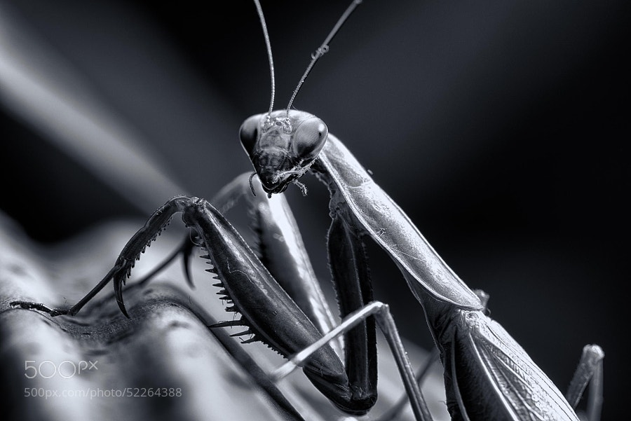 Photograph Mantis by Arnaud Bratkovic on 500px