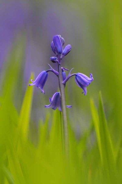 006 Garden Bluebell