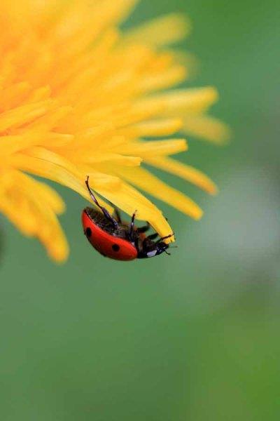 008 Dandelion and Ladybird