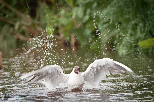 Black Headed Gull Splash