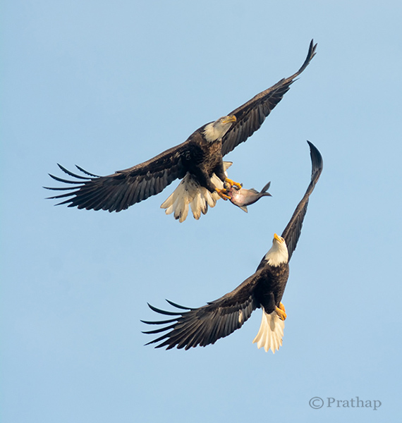 Nature Photography Simplified Bird Photography Bald Eagle Fight In Flight