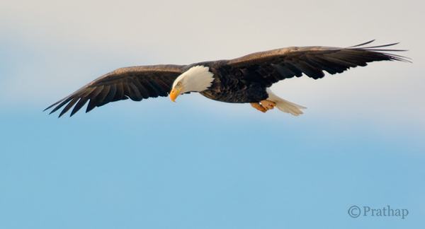 Nature Photography Simplified Bird Photography Bald Eagle Flight