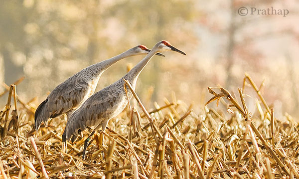 Nature Photography Simplified Sandhill Cranes In Jasper Pulaski Fish And Wildlife Refuge Medaryville Indiana