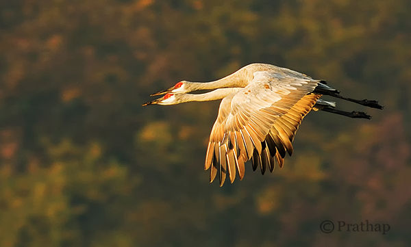 Nature Photography Simplified Sandhill Cranes Pair In Flight Jasper Pulaski Fish And Wildlife Refuge Indiana
