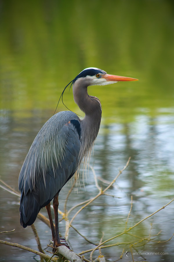 Great Blue Heron by Anne McKinnell