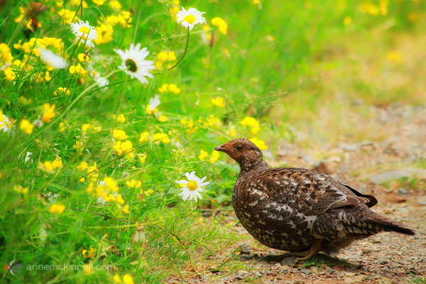Female Sooty Grouse by Anne McKinnell