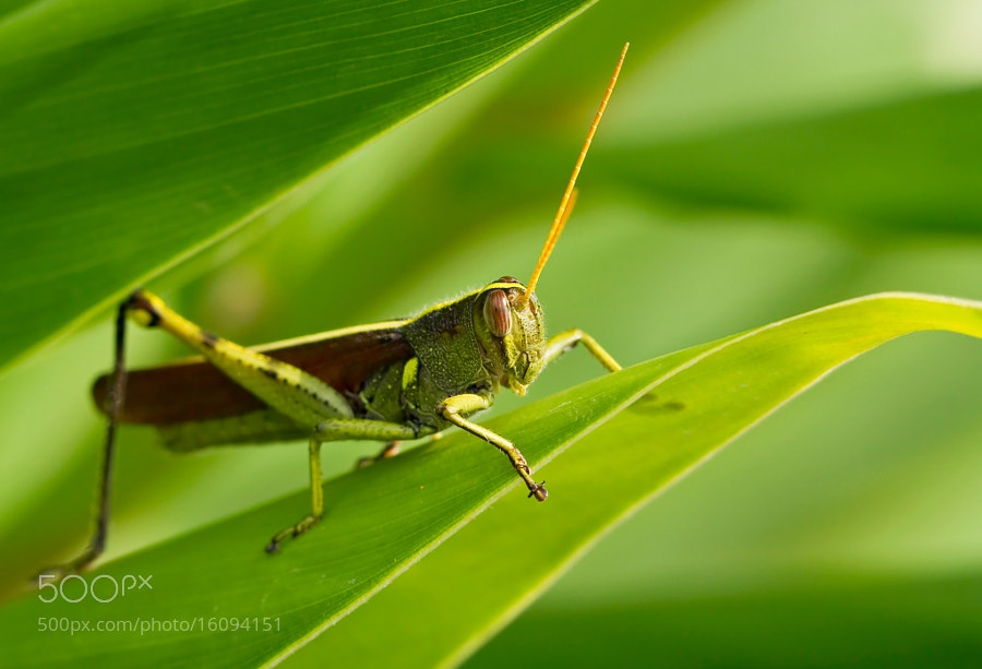 Photograph Grasshopper Green by Lorraine Hudgins on 500px