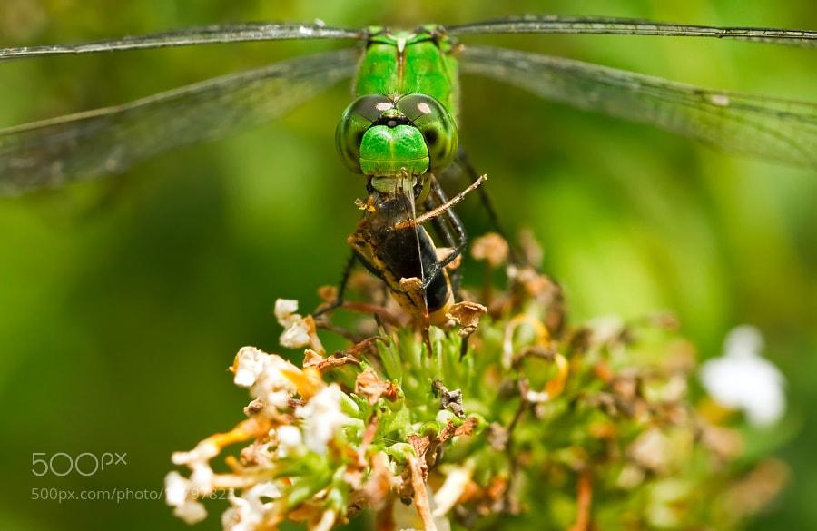 Photograph Gorging On Grasshopper by Lorraine Hudgins on 500px